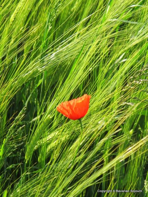 Sunday Photo – Poppy Red