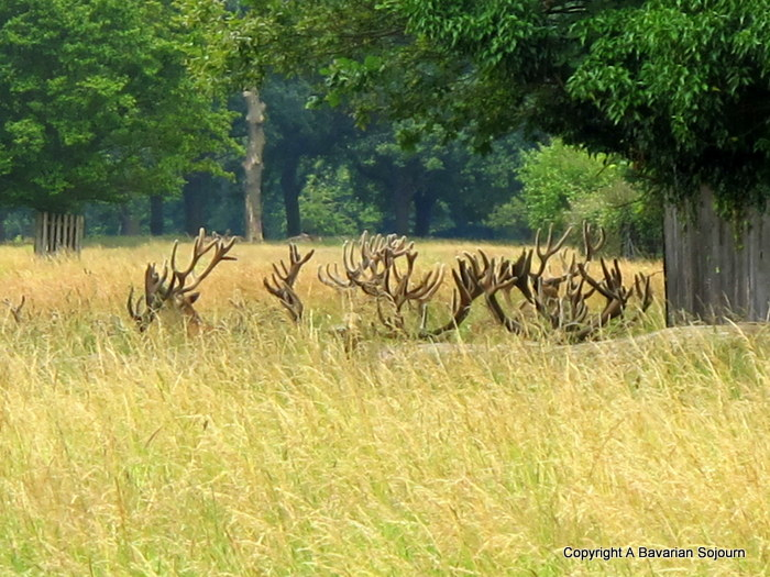 deer bushy park