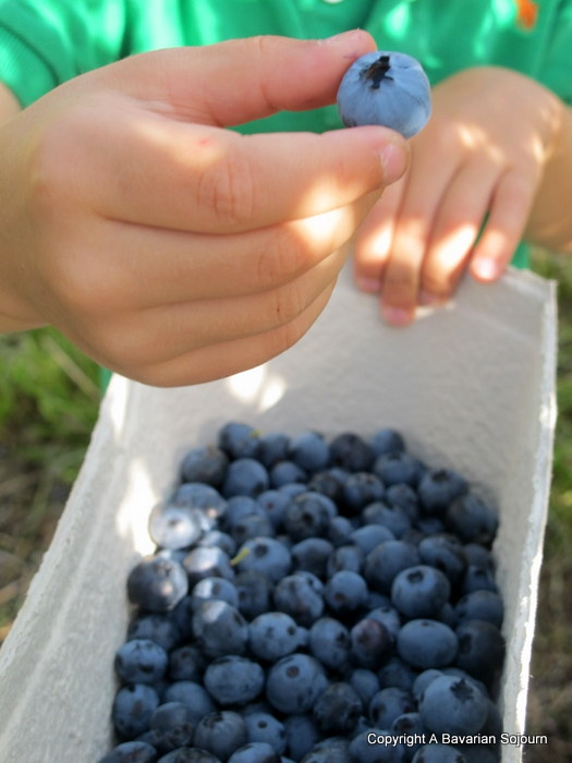pick your own blueberries