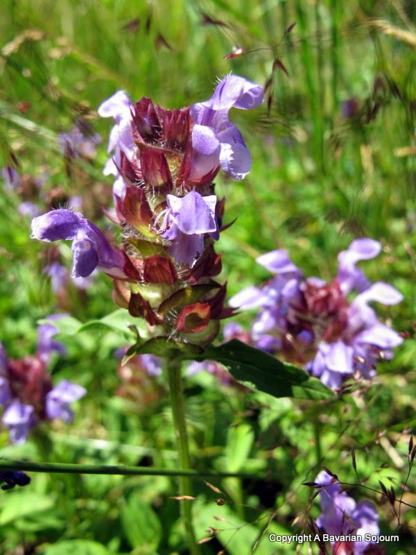 austrian wildflower