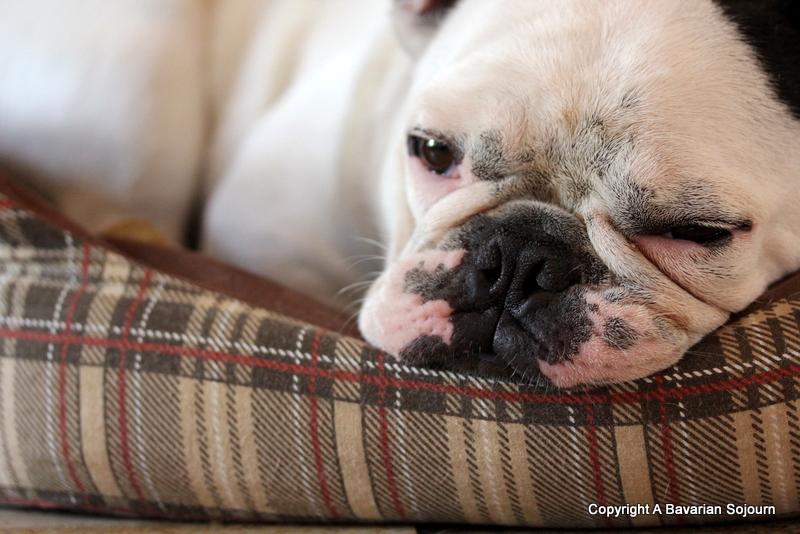 French Bull dog sleeping