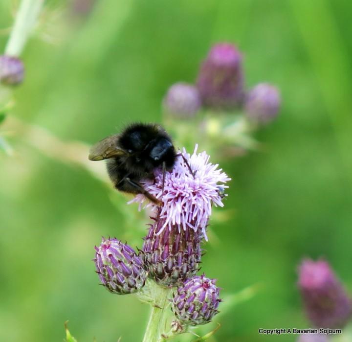 Sunday Photo – Purple Bee