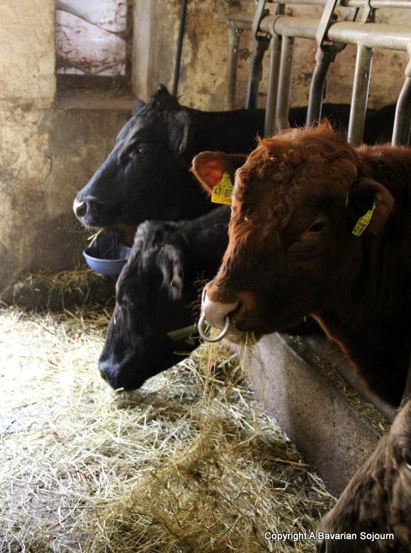 hilserhof cows