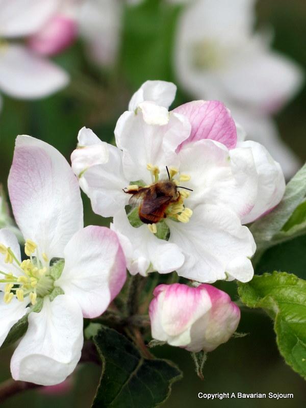 Sunday Photo – Apple Blossom – Lake Garda