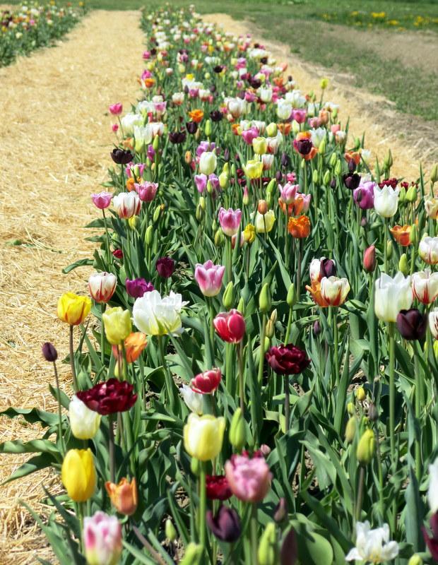 tulipbaby