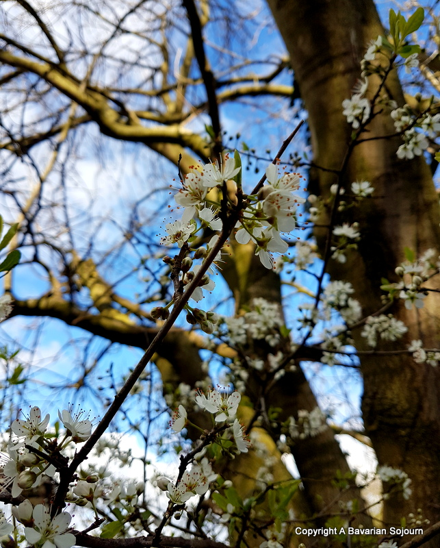 Sunday Photo – Blackthorn/Hawthorn