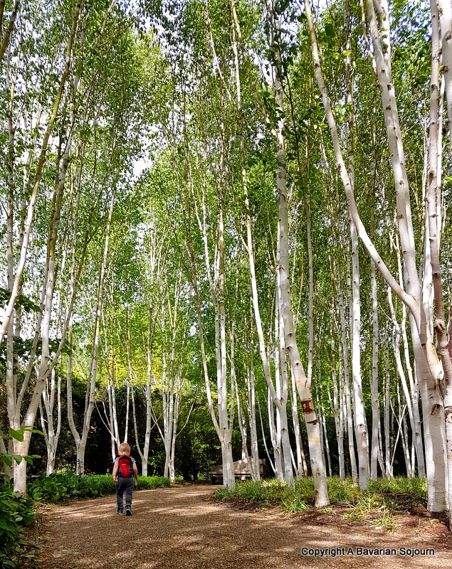 My Sunday Photo – Silver Birches