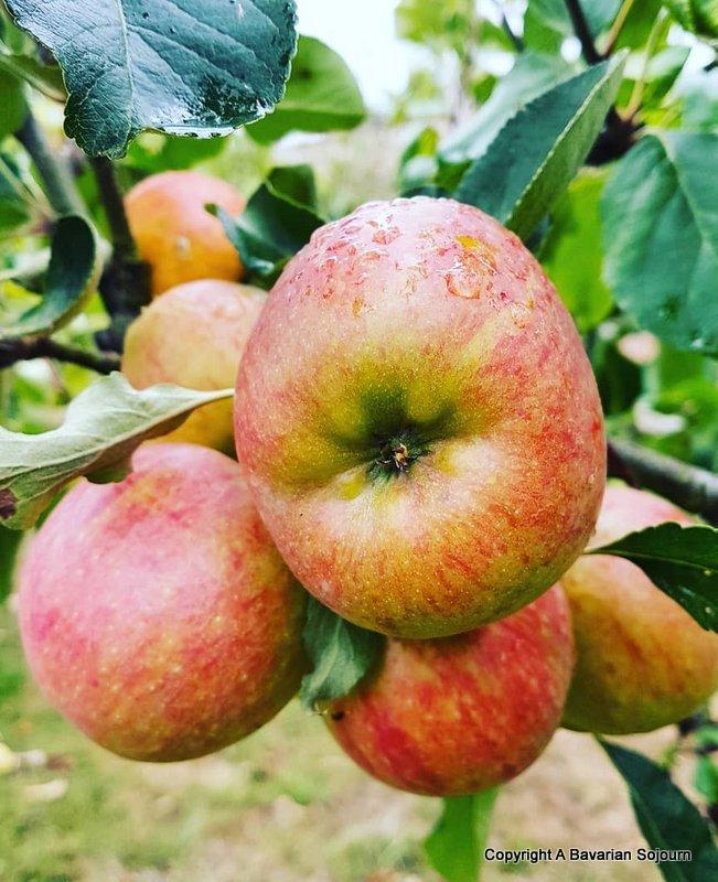 lainston house apple trees