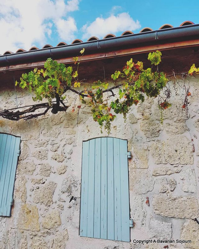 grape vine france