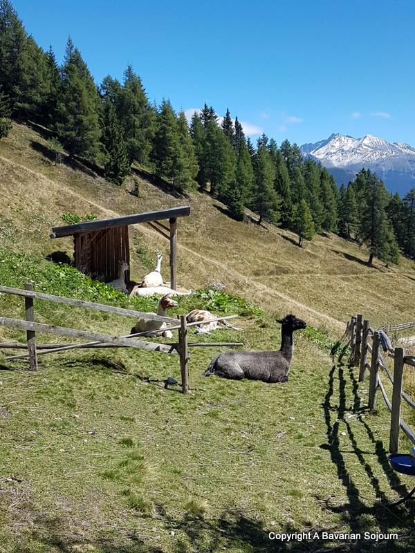 alpacas monte cavallo