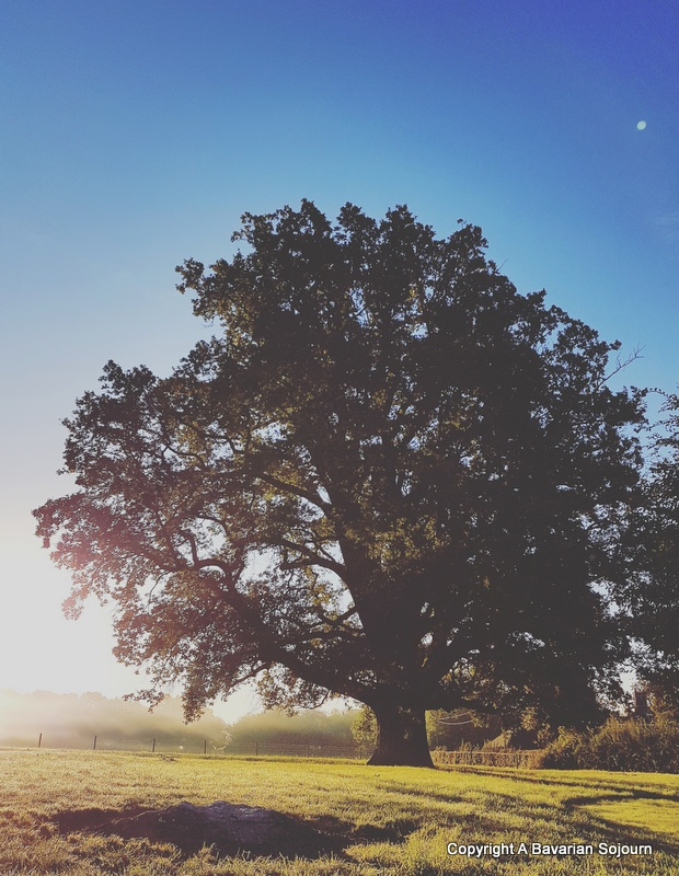 mighty oak at first light