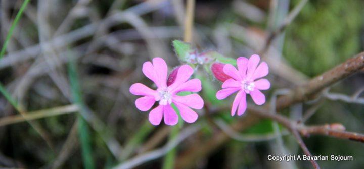 wild flowers lake district