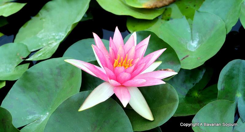 pink waterlily latour marliac