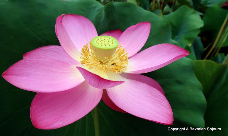 Lotus Latour Marliac