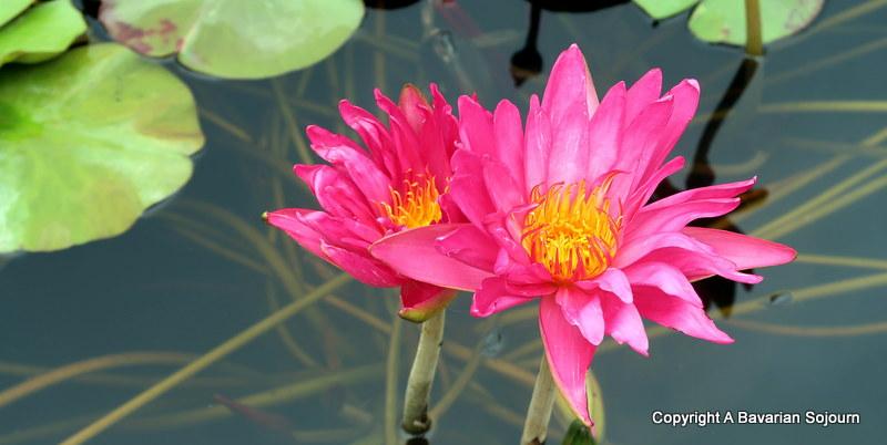 pink lily latour marliac