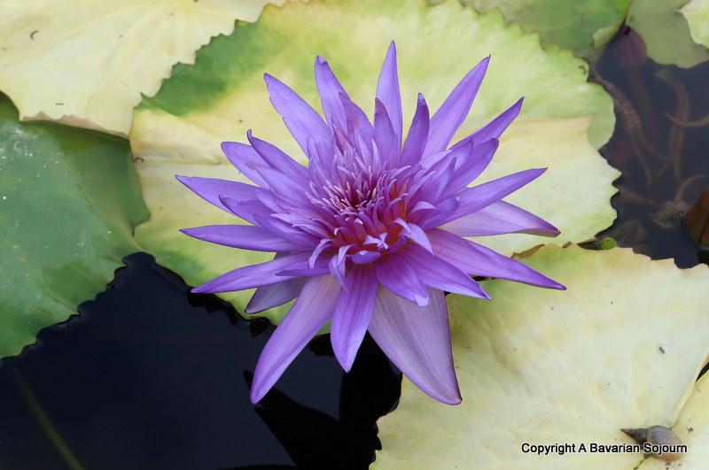 blue lily latour marliac