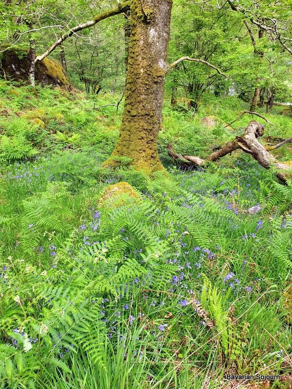 snowdonia bluebells