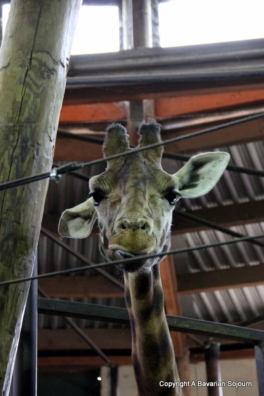 Giraffe Marwell
