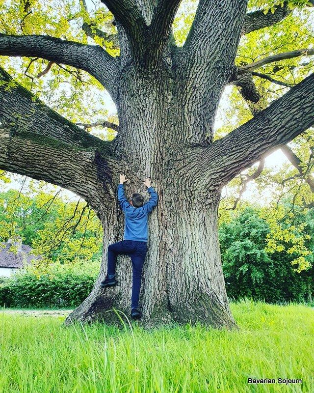 Giant Oak