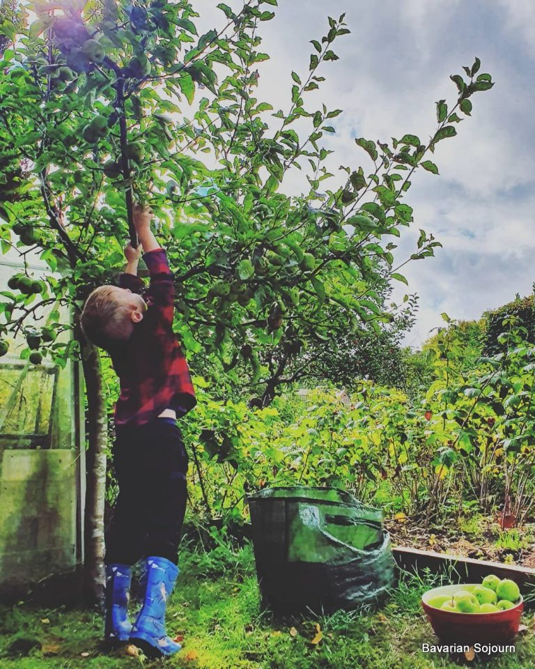 child helping pick apples from tree
