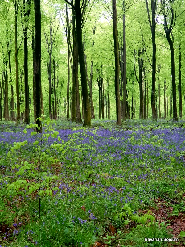 Bluebells in a Forest full of green leaves